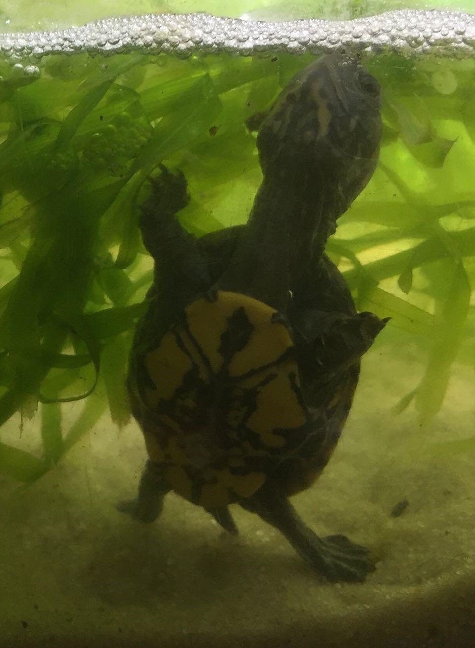 rotwangen klappschildkröte haltung