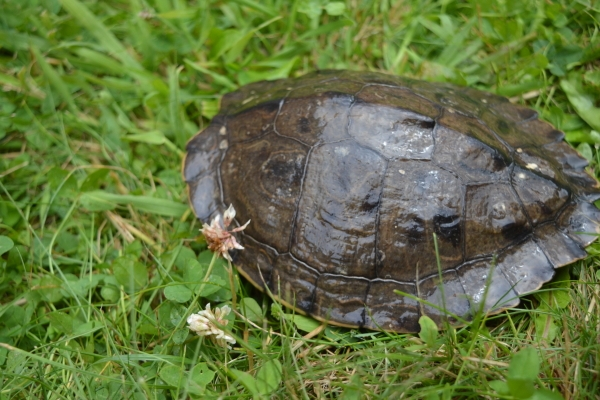 Julia - Ouachita-Höckerschildkröte - Graptemys ouachitensis - 18,5 cm