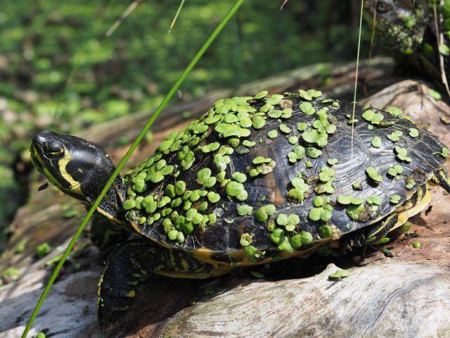 Trachemys scripta – Buchstabenschmuckschildkröten Vermittlung