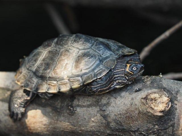 Graptemys pseudogeographica, khonii, ouachitensis – Höckerschildkröten erwachsen