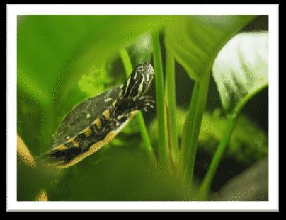 Chrysemys picta dorsalis rückenstreifen zierschildkröte geitenansicht wasserpflanzen gelber Bauchpanzer gelbe streifen am hals