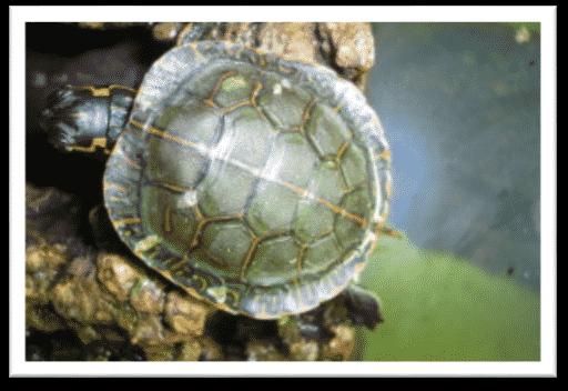 chrysmeys picta marginata aus vogelperspektive