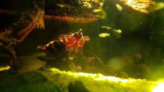CHELUS FIMBRATUS/ORINOCENSIS - FRANSENSCHILDKRÖTE unter wasser mit beleuchtung wunderschöne aufnahme bild fische guppy