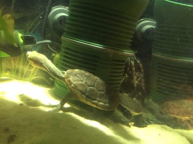 Chelodina rugosa oblonga siebenrocki – Siebenrocks Schlangenhalsschildkröten Nachzuchten