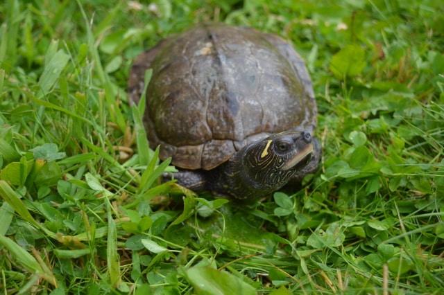 Graptemys pseudogeographica pseudogeographica Falsche Landkarten Höckerschildkröte Weibchen am Land Landteil