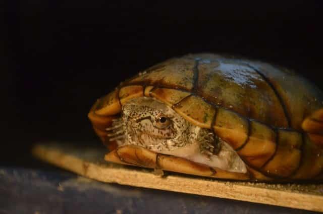 Kinosternon acutum tabasco Klappschildkröte zwei Scharniere Schildkröte Adult