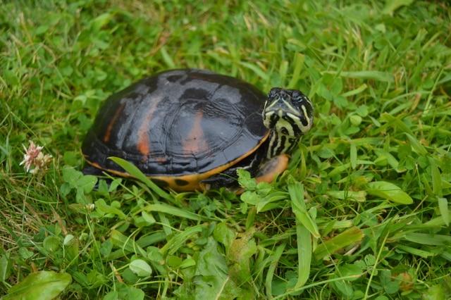 Pseudemys – Echte Schmuckschildkröten erwachsen
