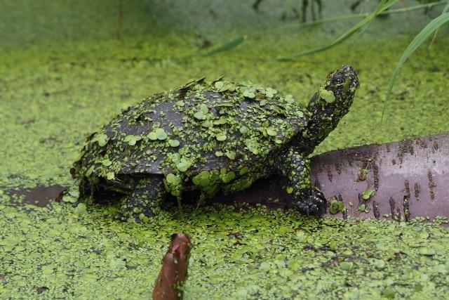 Emys orbicularis Europäische Sumpfschildkröte Adult Landteil Wasserpflanzen auf dem Panzer Seitenansicht