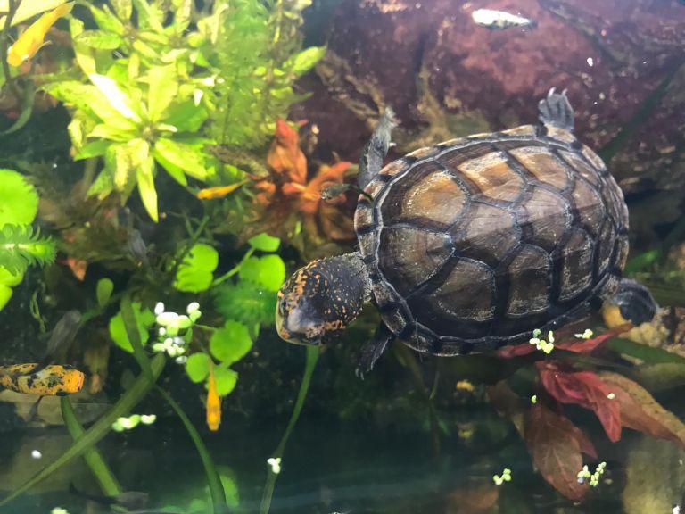 Kinosternon Cruentatum Rotwangen Klappschildkröte Nachzucht NZ Wasser Aquarium Kopf Rückenpanzer