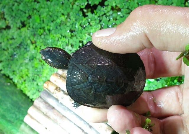 Kinosternon albogulare weißkehl Klappschildkröte Weisskehl Nachzucht Schlüpfling Ansicht von oben Rückenpanzer Kopf Hals