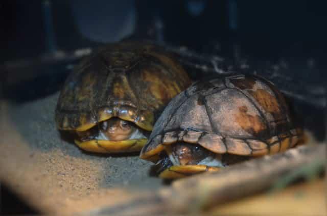 Kinosternon leucostomum Weißmaul Klappschildkröte adult Landteil Frontansicht Rückenpanzer