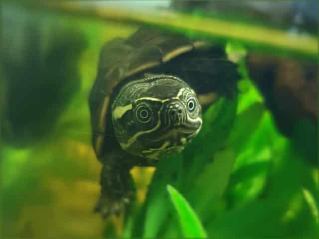 Malayemys subtrijuga – Malaien-Sumpfschildkröte Nachzuchten