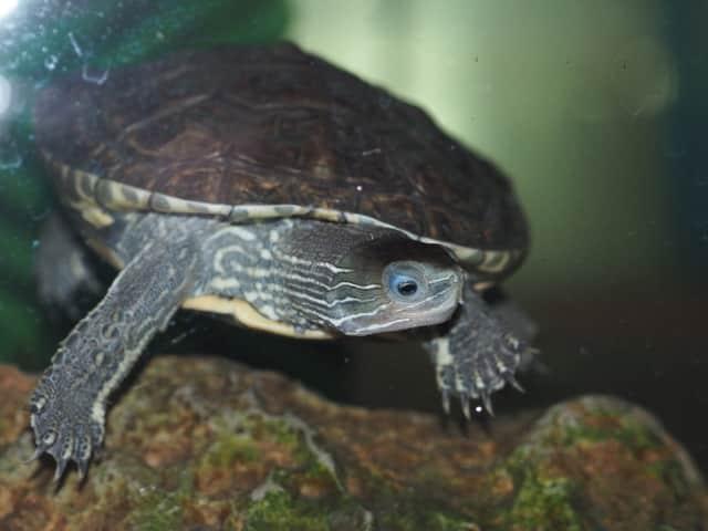Mauremys caspica Kaspische Bachschildkröte Frontansicht Kopfzeichnung Kopf Rückenpanzer Abzeichen Zeichnungen