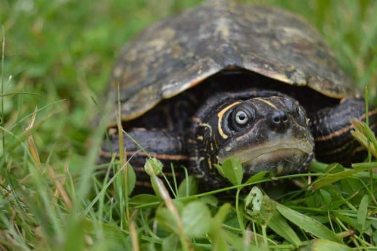 Graptemys pseudogeographica kohnii Mississippi Höckerschildkröte Frontansicht Kopfzeichnung weibchen