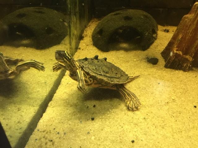 Graptemys nigrinoda nigrinoda Schwarzknopf Höckerschildkröte Seitenansicht Männchen im Wasser Aquarium