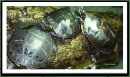 Chrysemys picta picta Östliche Zierschildkröte drei adult Landteil