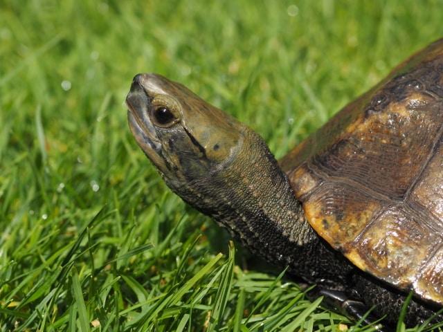Mauremys japonica Japanische Sumpfschildkröte adult Seitenansicht Kopf Rückenpanzer