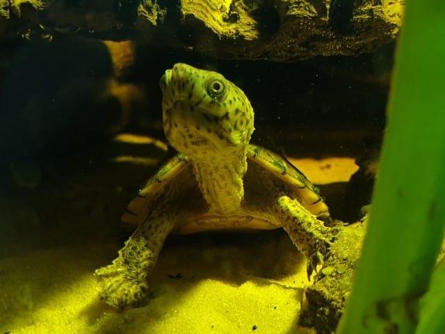 Sternotherus minor minor – Zwerg-Moschusschildkröte Nachzuchten