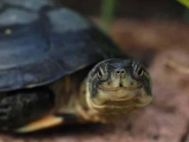 Mauremys mutica Gelbe Sumpfschildkröte Seitenansicht Kopf Rückenpanzer