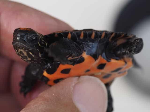 Mauremys Nigricans – Chinesische Rothalsschildkröte Nachzuchten