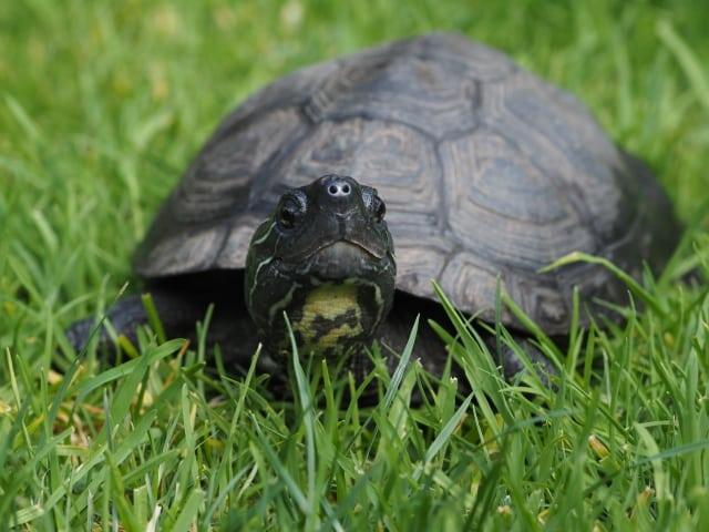 Mauremys nigricans - Chinesische Rothalsschildkröte adult Frontansicht Rückenpanzer Kopf