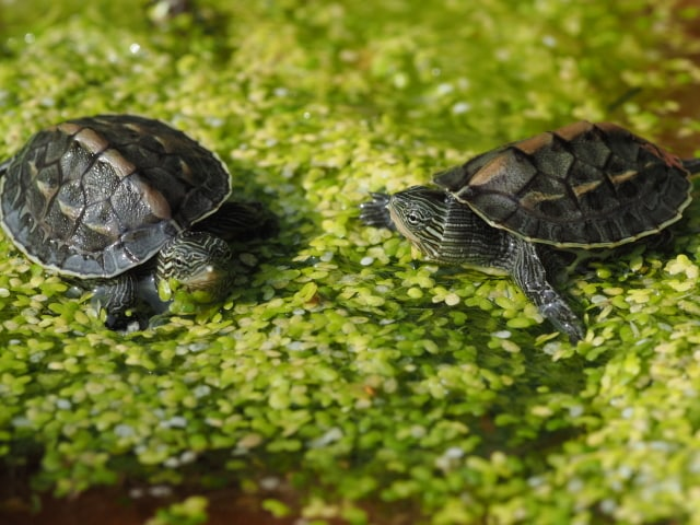 Mauremys sinensis Chinesische Streifenschildkröte Land zwei Seiten und Frontansicht Rückenpanzer Kopf