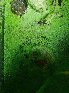 Ernährung Wasserschildkröte Pflanzliche Nahrung Wasserlinsen
