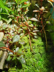 Ernährung Wasserschildkröte Pflanzliche Nahrung Schwimmfarn Büschelfarn Kriechende Ludwigie
