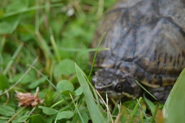 Sternotherus odoratus Gewöhnliche Moschusschildkröte am Land adult Rückenpanzer Kopf Kopfzeichnung
