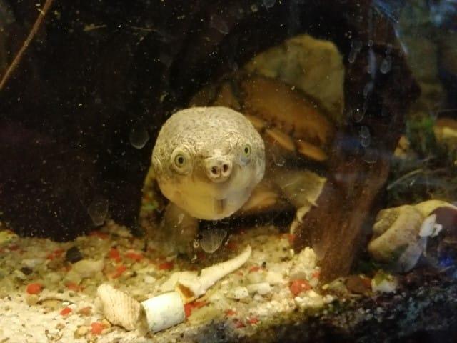 Sternotherus carinatus Dach-Moschusschildkröte Kopf Kopfzeichnung adult