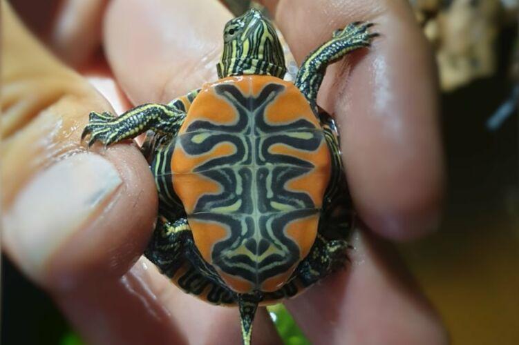 Chrysemys Picta bellii – Westliche- oder Indianer-Zierschildkröte Nachzuchten