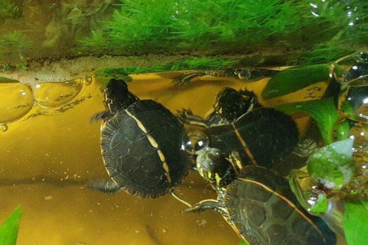 Chrysemys (picta) dorsalis – Rückenstreifen Zierschildkröte Nachzuchten