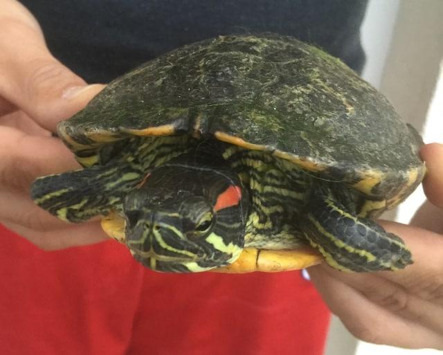 Trachemys scripta elegans - Buchstaben-Schmuckschildkröten - Rotwangen-Schmuckschildkröte adult Frontansicht Kopf Kopfzeichnung Rückenpanzer