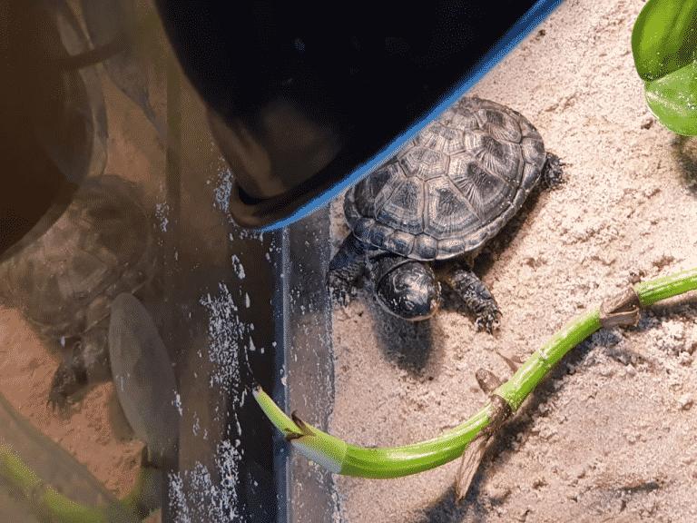Pelusios nanus Zwergklappbrustschildkröte Landteil Sonnenplatz adultes Männchen