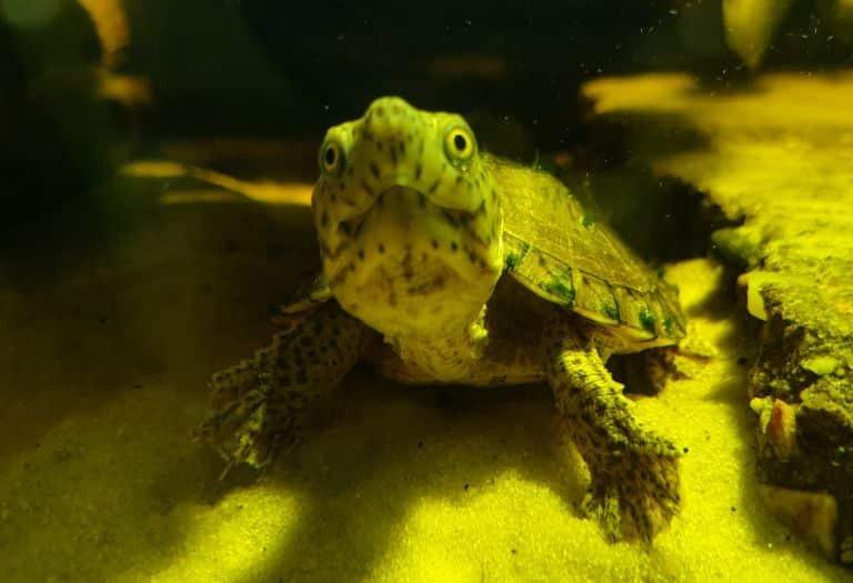 Sterntherus minor minor Kleine Moschusschildkröte Frontansicht Kopfzeichnung Rückenpanzer