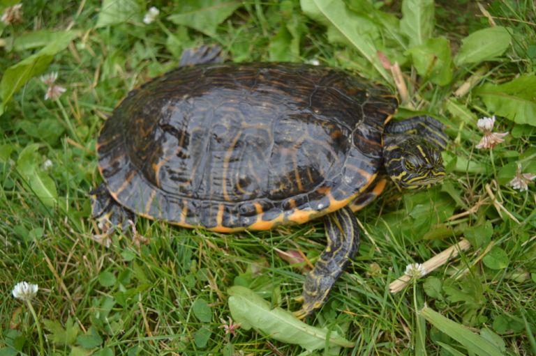 Pseudemys concinna Hieroglyphen-Schmuckschildkröte adult Seitenansicht Rückenpanzer Kopfzeichnung