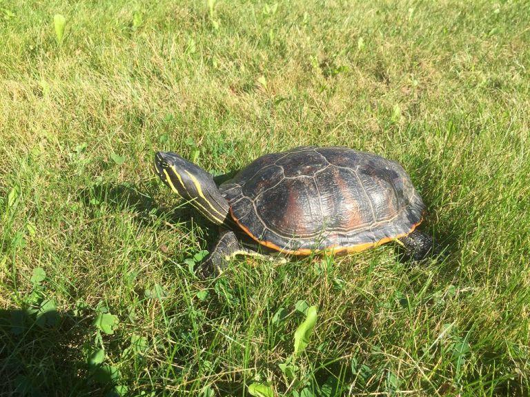 Pseudemys nelsoni Florida-Rotbauch-Schmuckschildkröte adult Seitenansicht Rückenpanzer Kopfzeichnung