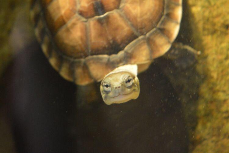 Mauremys Mutica – Gelbe Sumpfschildkröte Nachzuchten