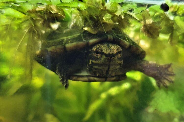Kinosternon acutum – Tabasco-Klappschildkröte Nachzuchten