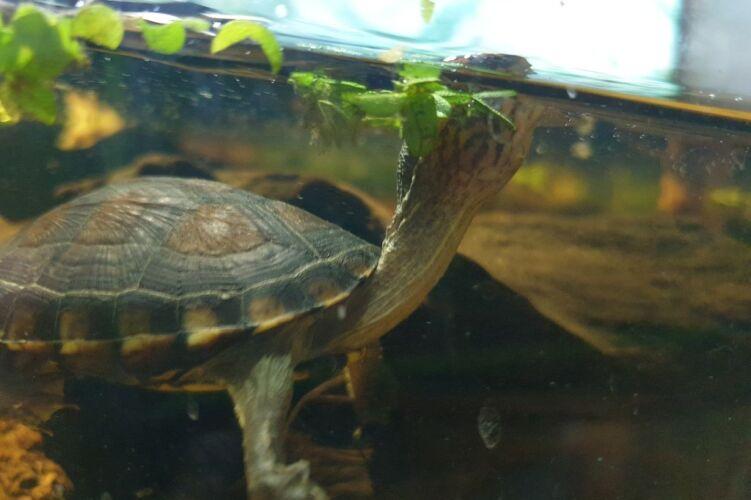 Kinosternon albogulare – Weißkehl-Klappschildkröte Nachzuchten