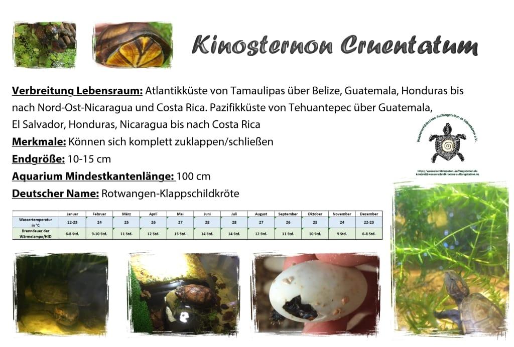 Kinosternon cruentatum A5 info schild