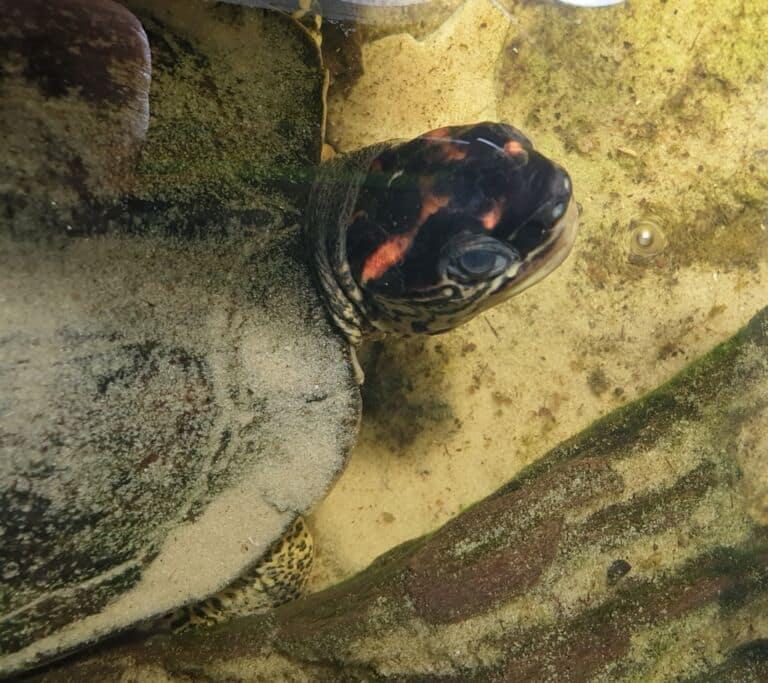 Rhinoclemmys punctularia von oben fotografiert adult mann bock
