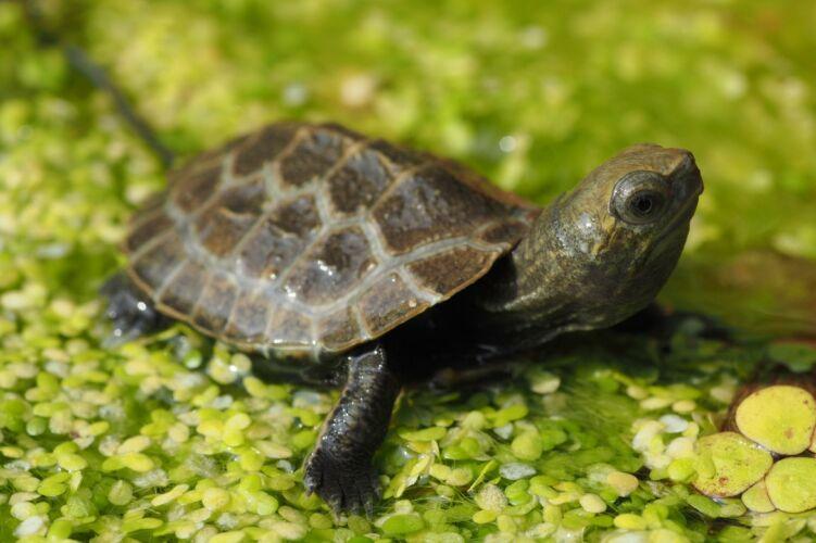 Mauremys Japonica – Japanische Sumpfschildkröte Nachzuchten