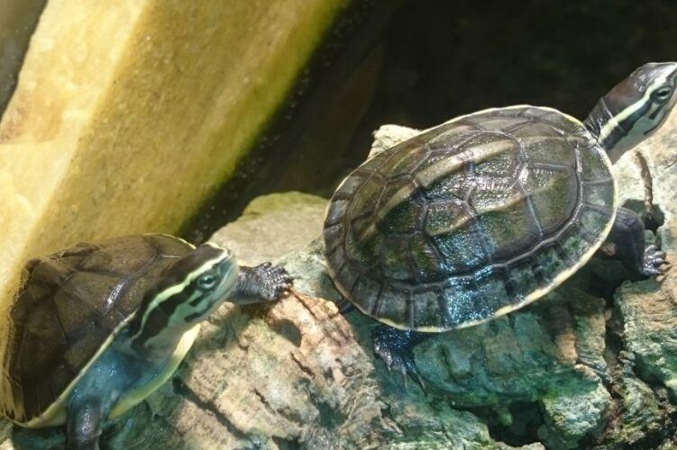 Cuora amboinensis – Amboina-Scharnierschildkröte Nachzuchten